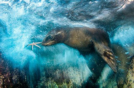 אריה ים משחק עם כוכב ים צילומי טבע 2016, צילום: Luis Javier Sandoval