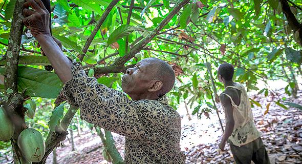 מטעי קקאו בחוף השנהב, צילום: בלומברג