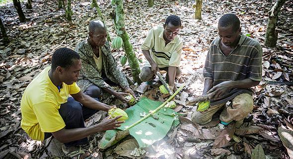 פועלי קקאו ב חוף השנהב