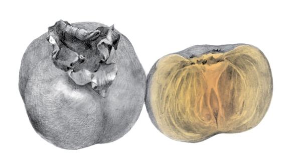 זן האפרסמון המשווק בארץ, טריומף, מגיע לשווקים מראשית הסתיו עד ראשית החורף