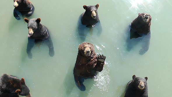 דובים בטורונטו