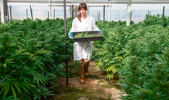 An Israeli Cannabis farm. Photo: Miram Oren