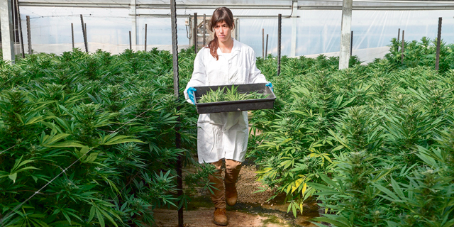 Israel's Road to Top Spot in Cannabis Exports Blocked by Ministerial Squabble