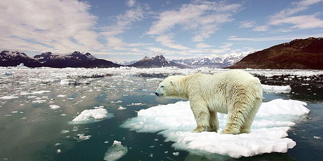 תיפרדו מדובי הקוטב: עלולים להיכחד עד סוף המאה הנוכחית