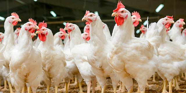 סין תעבור את שנת התרנגול בצל מחסור חריג בעופות