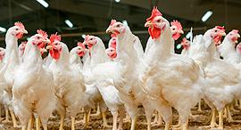 תרנגולות עופות, צילום: שאטרסטוק