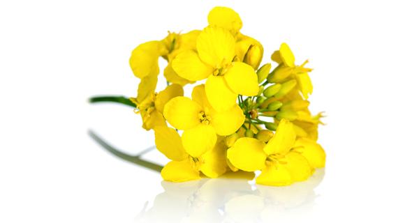 פרח החרדל. את עלי החרדל אפשר לחלוט במים ולימון, לקצוץ דק עם הפרחים ולהוסיף לקציצות בשר או עוף טחון