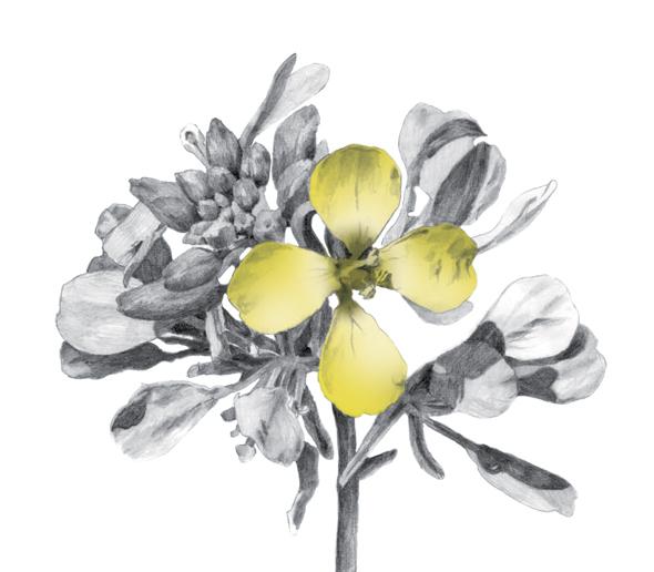 פרח החרדל. חרדל השדה והחרדל הלבן מתחילים ללבלב אחרי הגשמים הראשונים בסתיו. הבשלת הגרגירים ואיסופם נעשית בקיץ, ואילו אכילת הפרחים והעלים החריפים של הצמח נוחה באביב