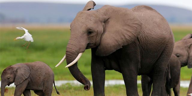 בשורה טובה לפילים באפריקה: צניחה בביקוש לשנהב בסין - שאוסרת על המסחר בו