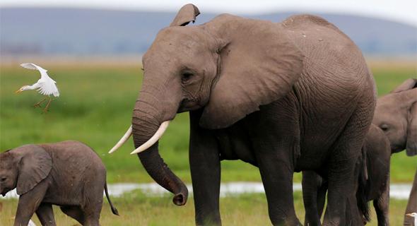אוכלוסיית הפילים ב-110 אלף בעשור האחרון