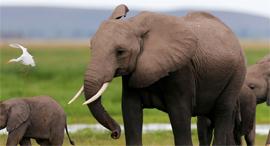 פיל פילים שנהב, צילום: איי אף פי