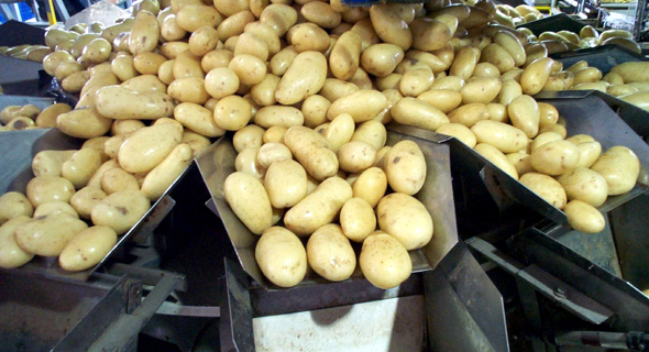 תפוחי אדמה, צילום: יחצ