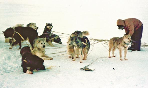 אינואיט עם כלביו באי איגלואיק; גם הנווטים הטובים בעולם מתחילים להשתמש ב־GPS ומאבדים מכישוריהם