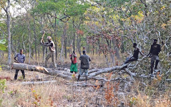 """כריתת עצי רוזווד בקונגו. """"מבחינת המקומיים זו הזדמנות טובה להרוויח כסף גדול, אבל הם מקבלים כסף קטן משווי העץ, ולא מבינים את ההשלכות של כריתת כל כך הרבה עצים"""", אומרת העיתונאית שה יי"""