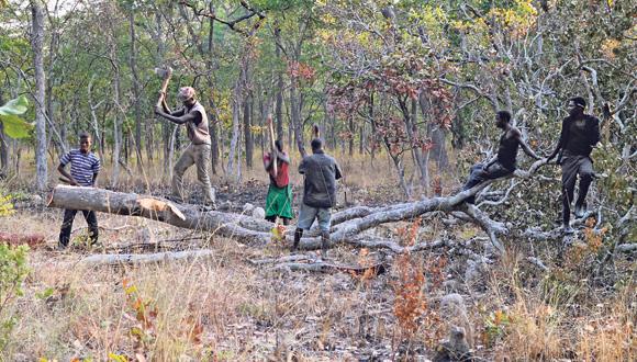 כריתת עצי רוזווד בקונגו, צילום: Shi Yi/Sixth Tone