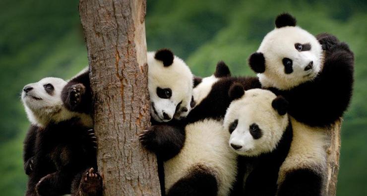דובי פנדה בסין