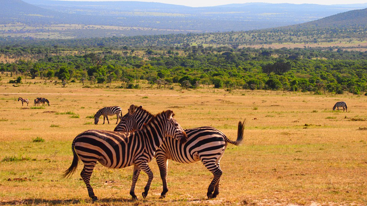 זברות בקניה