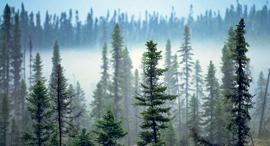 היער בצפון קנדה, צילום: Greenpeace