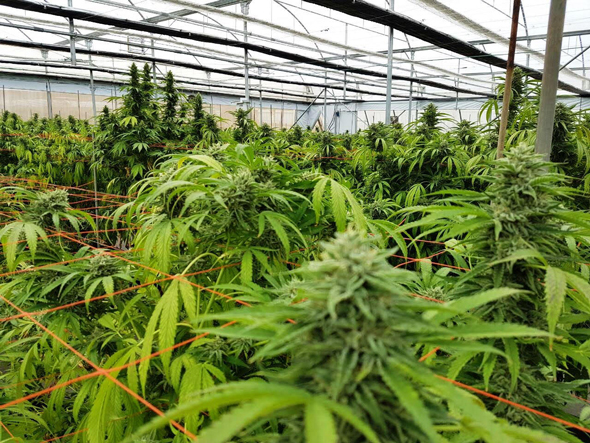 Cannabis farm in Israel. Photo: Seach Cannabis Farm