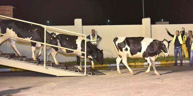 עוקפים את החרם: המשלוח האווירי הראשון של פרות נחת בקטאר