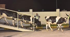 קטאר יבוא פרות חלב, צילום: Baladna