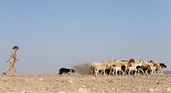 אתרוג עם דייזי והכבשים בשטח. שבעה מקצים, שלל תרגילים וניקוד שנקבע לפי התנהגות הכבשים , צילום: עמית שעל