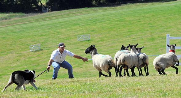 רועה וכלבו בתחרות רעיית כבשים בוויילס. התרגילים מגוונים, מהכנסה למכלאה והפרדת עדר עד הפרדה של כבשה אחת, צילום: רויטרס