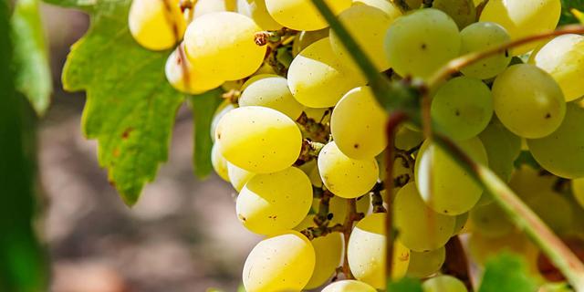 היין צפוי להתייקר בשל השריפות בקליפורניה והבציר הדל באירופה