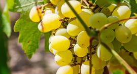 יינות המגיעים מזני ענבים לא מוכרים