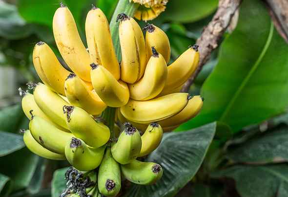 Bananas. Photo: Shutterstock