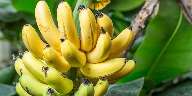 Genetic Manipulation Makes Strides in War Against Banana Fungus
