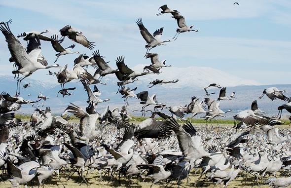 עגורים באגמון החולה. המדינה ספרה ציפורים בשטחה פעם אחת בלבד, לפני 30 שנה