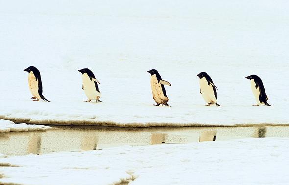 פינגווינים אדליים, אנטארקטיקה. מושבה של 40 אלף פרטים נכחדה מרעב