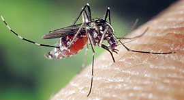 A mosquitoe. Photo: Bloomberg