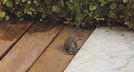 הרימון בחצר ביתו של הרק רוזן