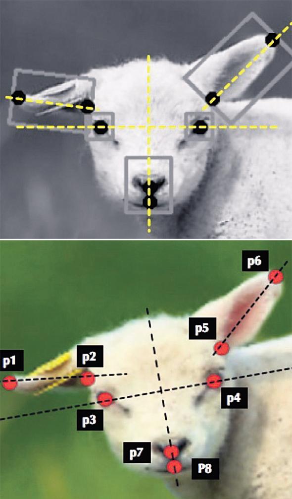 Sheep Pain Facial Expression Scale: מזהה כמה כואב לכבשה לפי הבעת פניה, ובעתיד תוכל לפענח גם את עצומת הכאב של בן אדם