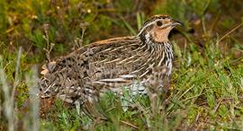 ציפור שליו, צילום: ויקיפדיה