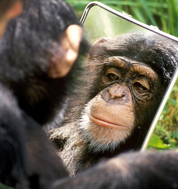 """שימפנזה בניסוי המראה. """"אם שימפנזים מתחבקים אחרי ריב, וגם בני אדם מתחבקים אחרי ריב, צריך להניח שאותה פסיכולוגיה משחקת תפקיד"""""""