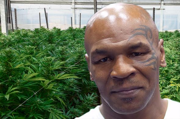 מייק טייסון על רקע חווה לגידול מריחואנה