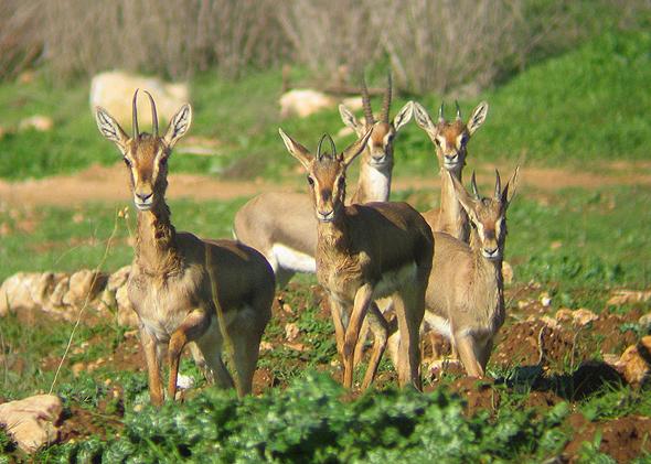 עדר צבאים ברכס לבן בהרי ירושלים