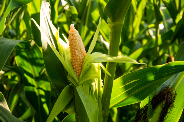 Corn. Photo: Shutterstock