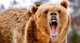 דב דוב גריזלי בורסה וול סטריט ירידות, צילום: שאטרסטוק