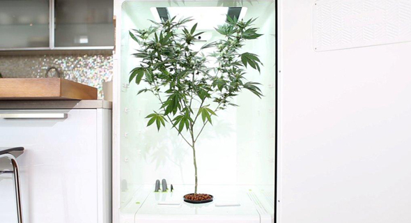 Leaf cannabis growing box. Photo: PR