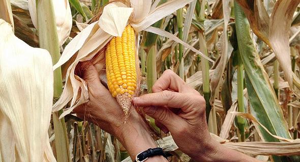 """שדה תירס ערוך של דופונט־פיוניר. ארה""""ב קבעה שעריכה אינה הנדסה גנטית, ובכך עקפה את הטאבו החברתי"""