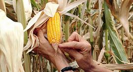"""מוסף שבועי 22.2.18 דיגולי תירס ב ארה""""ב הנדסה גנטית, צילום: אם סי טי"""