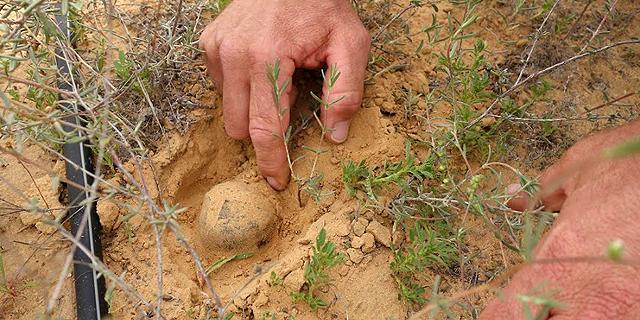Israeli Researchers Cultivate Rare Desert Truffles