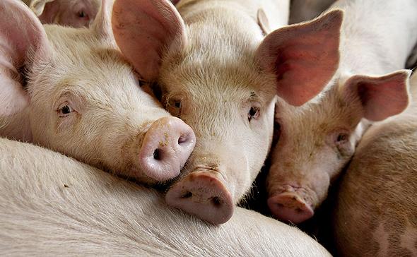 חזירים