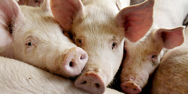 Israeli Rabbi Says Lab-Grown Pork Meat Is Kosher