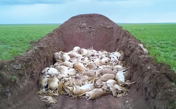"""פגרי סאיגות בקזחסטן. """"כשמדובר במגפות מדובר במקרה הגרוע על 60% תמותה. כאן היו 100% תמותה"""", צילום: monitoring team in Kazakhstan"""