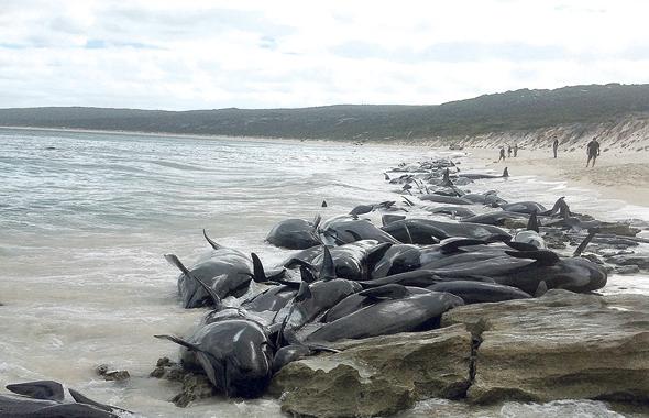 גוויות דולפינים באוסטרליה, לפני שבועיים. תמותה של כמעט כל הלהקה, צילום: אי.אף.פי